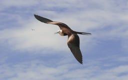 Ausgezeichnetes frigatebird Stockfotos