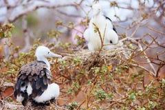 Ausgezeichnetes frigatebird Küken stockfoto