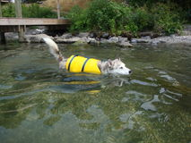 Ausky Dog Swimming With Life Vest Royalty Free Stock Photo