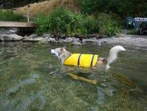 Ausky Hundeschwimmen mit Schwimmweste Stockfotos