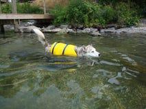 Ausky Hundeschwimmen mit Schwimmweste lizenzfreies stockfoto