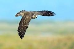 Ausländischer Falke Lizenzfreie Stockbilder