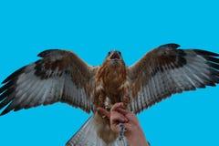 Ausländischer Falke Lizenzfreies Stockbild