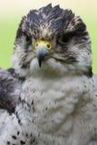 Ausländischer Falke Stockbild