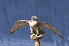 Ausländischer Falke auf einem Standplatz mit Flügelverbreitung Stockbild