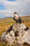 Ausländischer Falke (Falco Peregrinus) Stockfoto