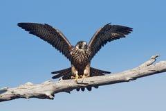Ausländischer Falke (Falco peregrinus anatum) Stockfotos