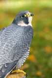 Ausländischer Falke (Falco peregrinus) schaut oben von der Stange Stockfoto
