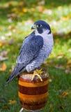 Ausländischer Falke (Falco peregrinus) sitzt auf Stange lizenzfreie stockbilder