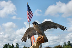 Ausländischer Falke mit Markierungsfahne lizenzfreie stockbilder