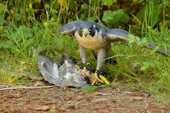 Ausländischer Falke mit seinem Opfer Stockfotografie