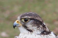 Ausländischer Falke-Portrait lizenzfreies stockfoto
