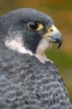 Ausländischer Falke schaut vorbei rückseitig lizenzfreies stockfoto