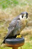 Ausländischer Falke, (Falco peregrinus) Stockfotografie