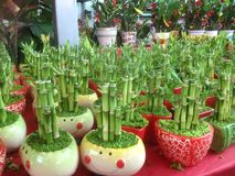 Auspicious Bamboo plant. For luck during Lunar New Year Holiday Stock Images