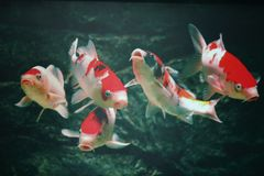 5 auspicious fish. There are five fish in the water in the noisy Xixi, Chinese, if you see this fish picture means more than auspicious, rich, May there be Stock Photo