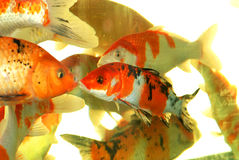 Auspicious koi fishes. A swarm of koi fishes, chinese brocaded carps swim in the clear water,they are auspicious pet fishes,ornamental fishes Stock Photos