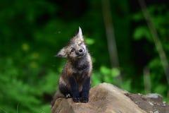 Ausrüstung des roten Fuchses des Babys, die auf Felsen sitzt Lizenzfreies Stockfoto