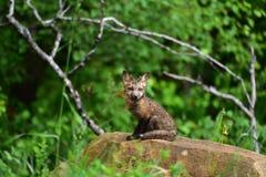 Ausrüstung des roten Fuchses des Babys, die für Porträt aufwirft Lizenzfreies Stockfoto