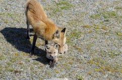 Ausrüstung und Elternteil des roten Fuchses Stockbild