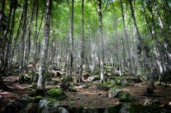 Ausrichtung von Birken im Unterholz von Cirier Lizenzfreie Stockfotografie