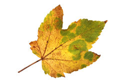 Ausschnitt eines herbstlichen Ahornblattes Stockfoto