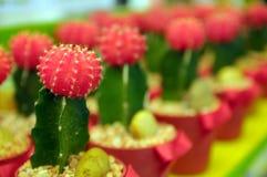 Ausschnitt-Kaktuspflanzekindertagesstätten Stockfotos