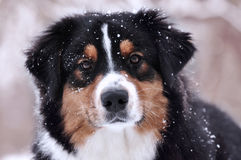 Aussie (Australian shepherd) dog looking straight on you in winter time when snow is falling. Aussie (Australian shepherd) tricolor dog looking straight on you Royalty Free Stock Image
