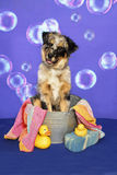 Aussie in a Bath Tub Royalty Free Stock Images