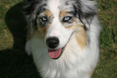 Aussie Blue. A blue merle Australian shepherd with gorgeous blue eyes mugs for the camera stock photos