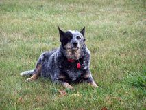 Aussie  Blue Heeler   Royalty Free Stock Photography