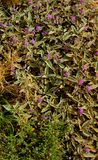 Aussie Bush Tomato - Flowering Shrub royalty free stock images