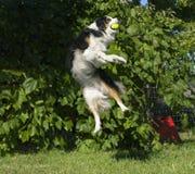 Aussie Catching stupéfiant une boule dans l'entre le ciel et la terre image libre de droits