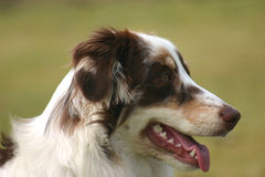 Aussie Closeup. A red merle Australian Shepherd Closeup Stock Images