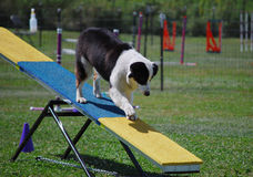 Aussie Descends Seesaw. Australian Shepherd on the descent side of the teeter totter during an agility course Royalty Free Stock Photography