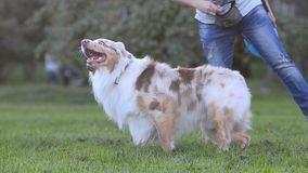 Aussie dog is learning to step backwards stock footage