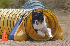 Aussie Dog Running Out eines Beweglichkeits-Tunnels stockbild