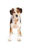 Aussie Dog Standing Looking Forward Stock Photos