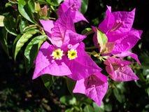 Aussie Flower raro Fotografia Stock