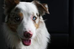 Aussie Gali, Australian Shepherd From Miami. Innocent and fresh look from Gali, a recognized Australian Shepherd from Miami stock photos