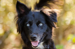 Aussie Husky mixed breed dog. Black with blue eyes, Walton County Animal Control, humane society adoption photo, outdoor pet photography Stock Photos
