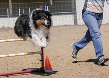 Aussie Leaping Over an Agility Jump at a Trial stock photo