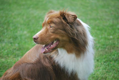 Aussie Looks Back. Purebred australian shepherd looks back for direction from his handler Royalty Free Stock Image