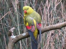 Aussie Parrot Foto de Stock Royalty Free