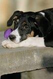 Aussie puppy Royalty Free Stock Photos