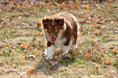 Aussie Puppy Stock Images