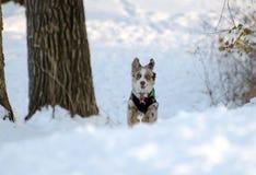 Aussie Puppy Playing i snö arkivbilder