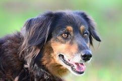 Aussie Setter mix dog, Pet rescue adoption photography. Black and tan female older Australian Shepherd Gordon Setter Retriever mixed breed dog with gray muzzle royalty free stock photography