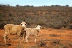 Aussie Sheep royalty free stock photos
