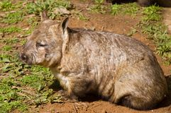 Aussie Wombat. A Southern Hairy-Nosed Wombat royalty free stock photo